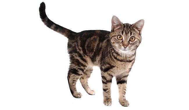con mèo